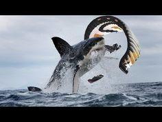 Great White Shark Attacks Kiteboarder - YouTube
