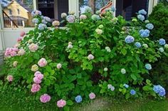 Prune Hydrangea Bushes: Hydrangea Pruning Instructions