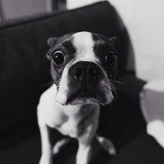 boston terrier says good morning humans