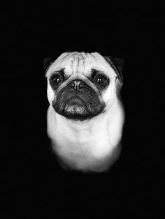 Pug Pics, Pug Pictures, Pug Mug, Main Squeeze, Doggy Stuff, Shih Tzus, Pug Love, Black And White Pictures, French Bulldogs