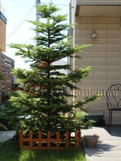 植栽 シンボルツリー 常緑樹 モミノキ