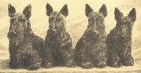 Scottish Terrier and Dog News Little Dogs, Big Dogs, Pet Store Puppies, Scottish Terrier Puppy, Westies, Beautiful Creatures, Your Dog, Dog Lovers, Dog Drawings
