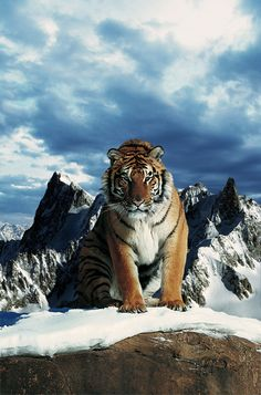♂ Wildlife Photography Snow Mountain Tiger by ~gencebay55