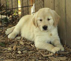 Golden Retriever Puppy Sale