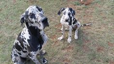 Great dane mother with baby