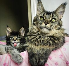 Pfft...my Dad's bigger than your Dad. http://www.mainecoonguide.com/where-to-find-free-maine-coon-kittens/