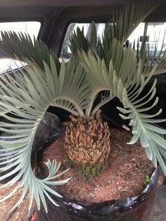Palm Garden, Tropical Garden, Tropical Plants, Unique Plants, Exotic Plants, Palm Tree Flowers, Palm Trees Landscaping, Cactus, Sago Palm