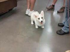 White corgi - cute!