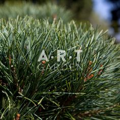 Pinus sylvestris Wateren bons100-120 W60x60