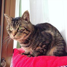 おはムサシ 朝の自宅警備自転車マダムをお見送り中Watchman. #musashi #mck #cat #キジトラ #ムサシさん by _daisy