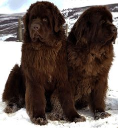 Types Of Big Dogs, Different Types Of Dogs, Dog Types, Service Dogs Breeds, Big Dog Breeds, Newfoundland Puppies, Brown Newfoundland Dog, Therapy Dogs, Dog Photos