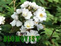 Pohjantähti/ PolstjärnanFinsk klätterros Finland, Rose, Plants, Pink, Roses, Flora, Plant