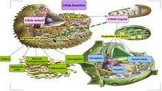 Celula Eucariota Animal y Vegetal