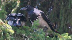 Varis.Crow