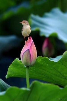 Bird on a lotus bud by susangir