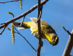 Palm Warbler: 5 April 2017, Luria Park; Falls Church, VA, 11:30 a.m., sunny, 65 degrees, slight breeze
