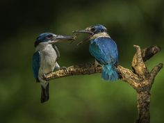 You only left me the wings again, didnt ya!   Blue-White Kingfisher by SIJANTO NATURE, via 500px