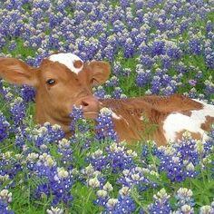 Cute Baby Cow, Baby Cows, Cute Cows, Cute Babies, Baby Elephants, Farm Animals, Animals And Pets, Funny Animals, Wild Animals