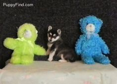 Alaskan Klee Kai. This is why I want one Alaskan Klee Kai, Puppies For Sale, View Photos, Creatures, Teddy Bear, Dogs, Pictures, Animals, Photos