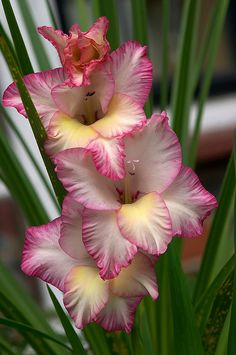 Garden Flowers - Annuals Or Perennials Gladiolus All Flowers, Flowers Nature, Exotic Flowers, Beautiful Flowers, Flower Beds, My Flower, Gladiolus Flower, Dame Nature, Exotic Plants
