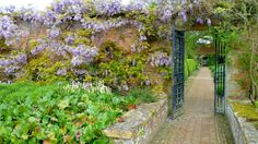A beautiful wisteria drapes itself over the garden wall with a vista through an Iron Gate into another garden at Barrington Court in Somerset (National Trust) - View Large Barrington Court, Over The Garden Wall, Special Images, Wisteria, Somerset, Gate, Vineyard, Around The Worlds, National Trust