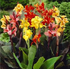 10 Fresh Seeds w/Instructions    The Canna Mixed Color produces beautiful mixed colored flowers. The flowers are displayed amid broad green leaves. Ca