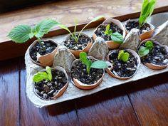 Plantar em casca de ovos.