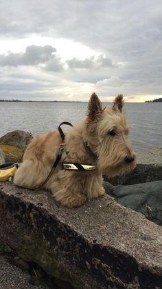820 Best Scottish Terrier images in 2019 | Scottish terriers