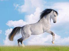 Un cheval tacheté pendant une forte impulsion au galop