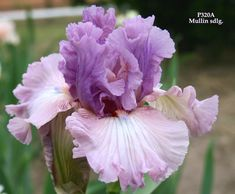 TB Iris germanica 'Best Friend' (Mullin by Williams, 2011)