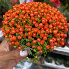 """𝘼 𝙎𝙚𝙣𝙝𝙤𝙧𝙖 𝙙𝙤 𝙈𝙤𝙣𝙩𝙚 ® on Instagram: """"Bom dia alegria 😄💚 Estamos apaixonados! Conhecem esta planta? É perene, rasteira e com bagas cor de laranja! Não é linda? 😍 🌱Chama-se…"""" Cactus, Strawberry, Fruit, Vegetables, Instagram, Reuse Wine Bottles, Plant Stem, Starting A Vegetable Garden, Companion Planting"""