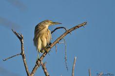 https://flic.kr/p/zTmqTW | Crabier chevelu (Ardeola ralloides), Squacco Heron | Maître Crabier sur son arbre perché .....