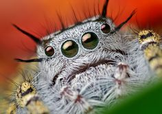 Jumping Spider - Most Amazing Macro Insect Photography Insect Photography, Animal Photography, Photography Ideas, Oklahoma, Spider Face, Wolf Spider, Human Memory, Jumping Spider, Fotografia Macro