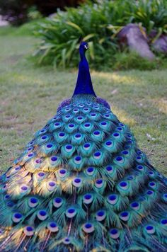 Peacock is the national bird of India and it's one of the most colorful and beautiful birds in the world. Exotic Birds, Colorful Birds, Exotic Pets, Exotic Animals, Pretty Birds, Beautiful Birds, Animals Beautiful, Stunningly Beautiful, Beautiful Pictures