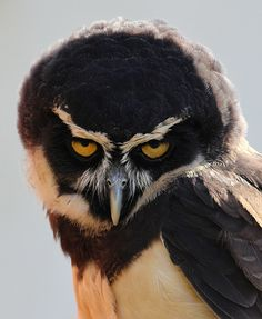 """Spectacled Owl, Pulsatrix perspicillata, with quite a """"come hither"""" look."""