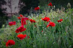 #poppies #flowers