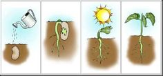 image Plant Science, Science Nature, Montessori Science, Preschool, Roots Tattoo, La Germination, Science Worksheets, Plant Growth, Plant Needs