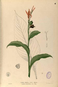 Painting of Canna Indica, from Flora de Filipinas by F.M. Blanco, published in Manila ca 1880, from the Digital Library of the Real Jardin Botanico, CSIC