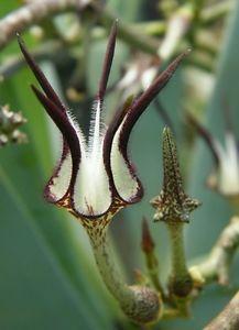 Rare Stapelliformis Ceropegia Vine Succulent http://www.ebay.com.au/itm/Rare-Stapelliformis-Ceropegia-Vine-Succulent-Collectors-Plant-/331019560666