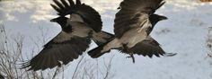 Synkron kråke flyving <3