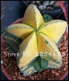50 Pcs/lot Mix Lithops Seeds Mix Varieties Succulents Seeds Succulents Bonsai Home Garden Ornament Potted Flower