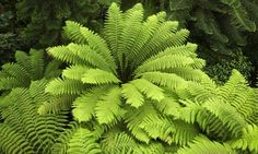 Learn about the Various Types of Ferns with Pictures The Australian Tree Fern (Cyathea cooperi) is a large, showy fern which can make a wonderful addition the garden, whether placed in the ground or grow. Australian Tree Fern, Australian Native Garden, Tropical Backyard, Tropical Plants, Shade Garden, Garden Plants, Potted Plants, Types Of Ferns, Japanese Painted Fern