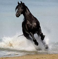 Galloping Black Horse in the Water at the Sea Shore's Edge.