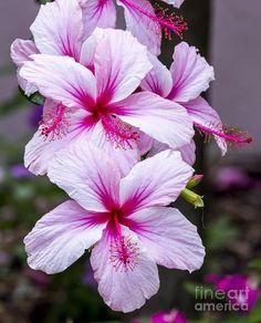 ✯ Tropical Hibiscus #exoticflowerscolorful