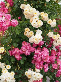 Climbing Roses: Rosa 'Angela, Cl' and Rosa 'Ghislaine de Féligonde'