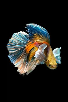 PRODAC BETTA FOOD is a compound feed in granules for all Betta splendens. Read more on our WEBSITE www.it - The Siamese fighting fish (Betta splendens), also sometimes colloquially known as the Betta, is popular as an aquarium fish. Pretty Fish, Beautiful Fish, Animals Beautiful, Betta Fish Types, Betta Fish Care, Betta Fish Tattoo, Betta Food, Colorful Fish, Tropical Fish
