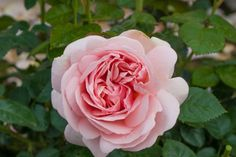 Aphrodite garden rose - Yahoo Image Search Results