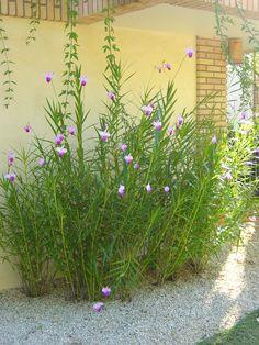 Arundina - Orquídea Bambu