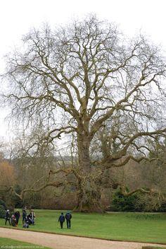 Old Oak Tree Mottisfont Abbey, Hampshire