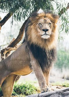 A second look photo of Izu, an African lion. Processed differently from the first. Beautiful Cats, Animals Beautiful, Lion Walking, Animals And Pets, Cute Animals, Lion Photography, Lions Photos, Lion Love, Black Lion